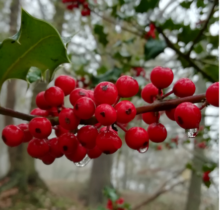 Photo of a holly branch